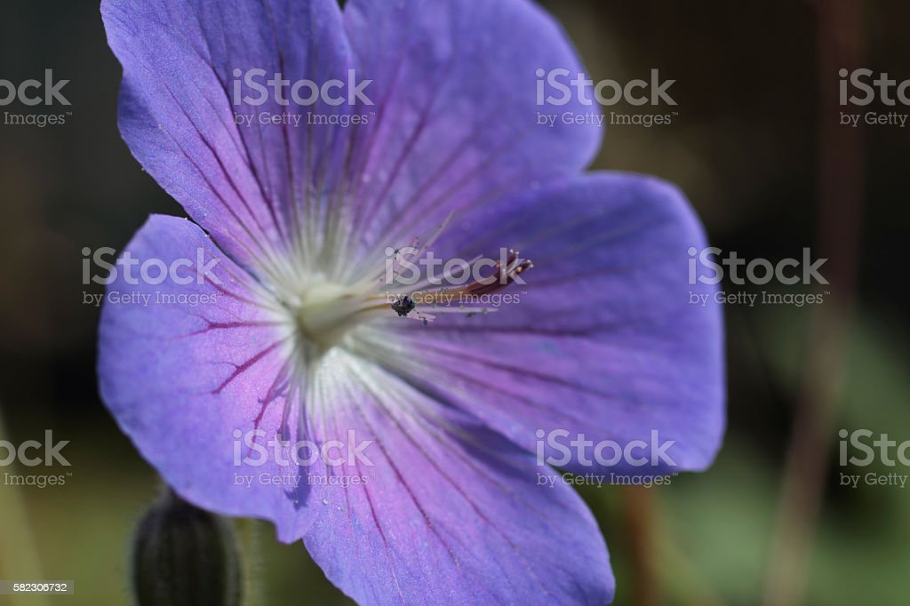 Purple wildflower meadow cranesbill close up stock photo