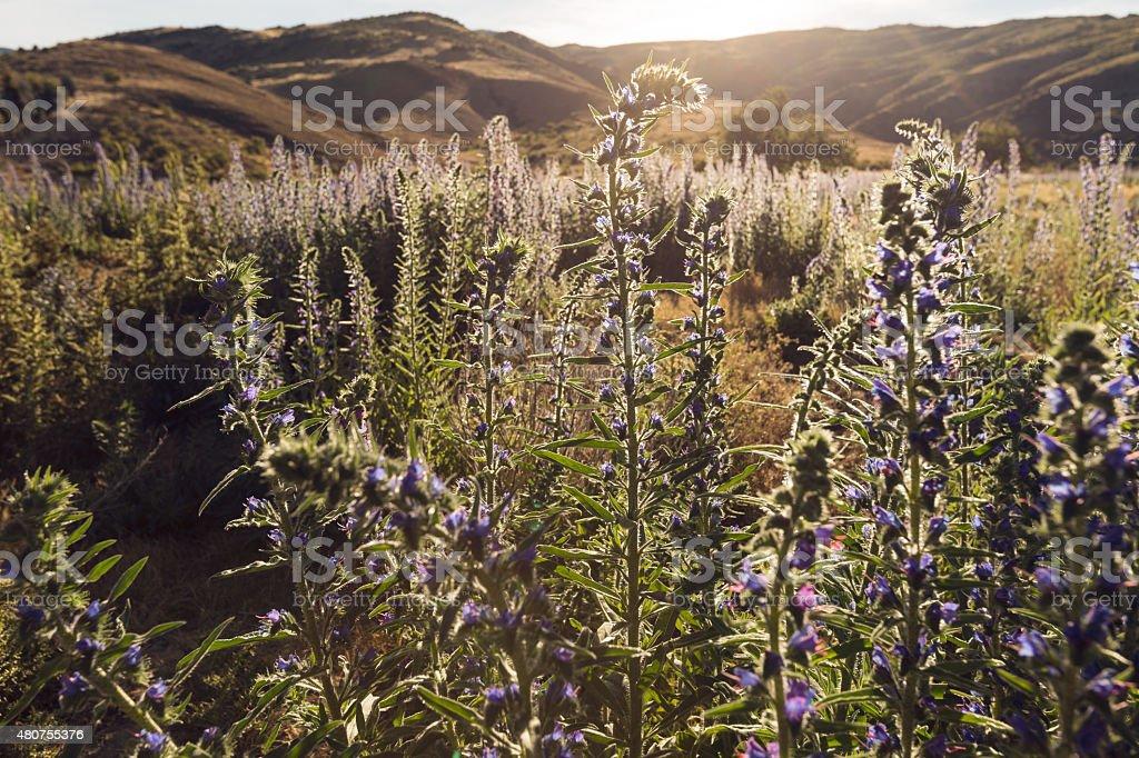 purple wildflowers in the desert stock photo