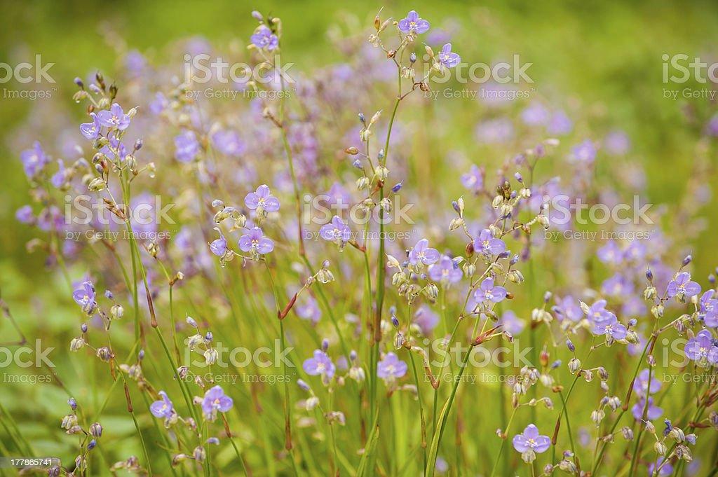 Purple wildflowers. royalty-free stock photo