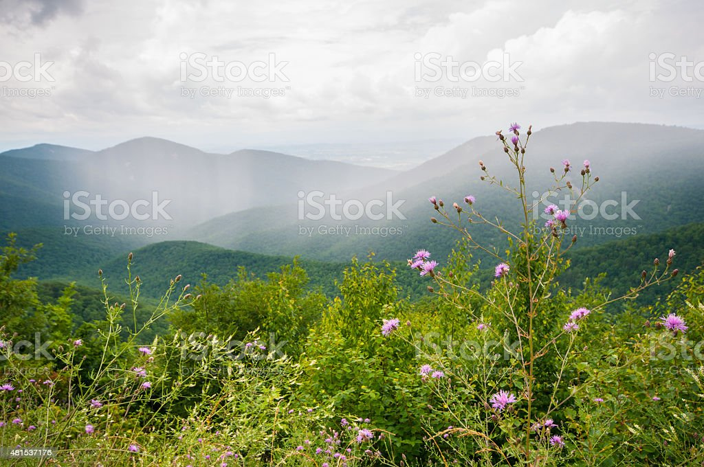Purple wildflowers with foggy mountains in background stock photo