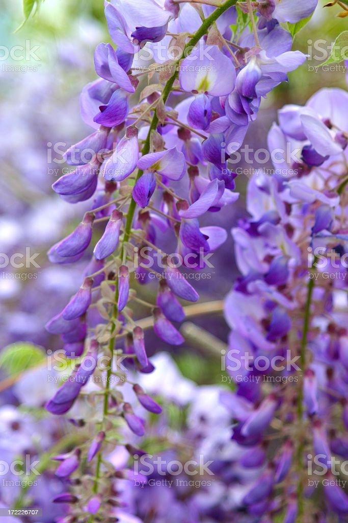 Purple Wisteria sprigs royalty-free stock photo
