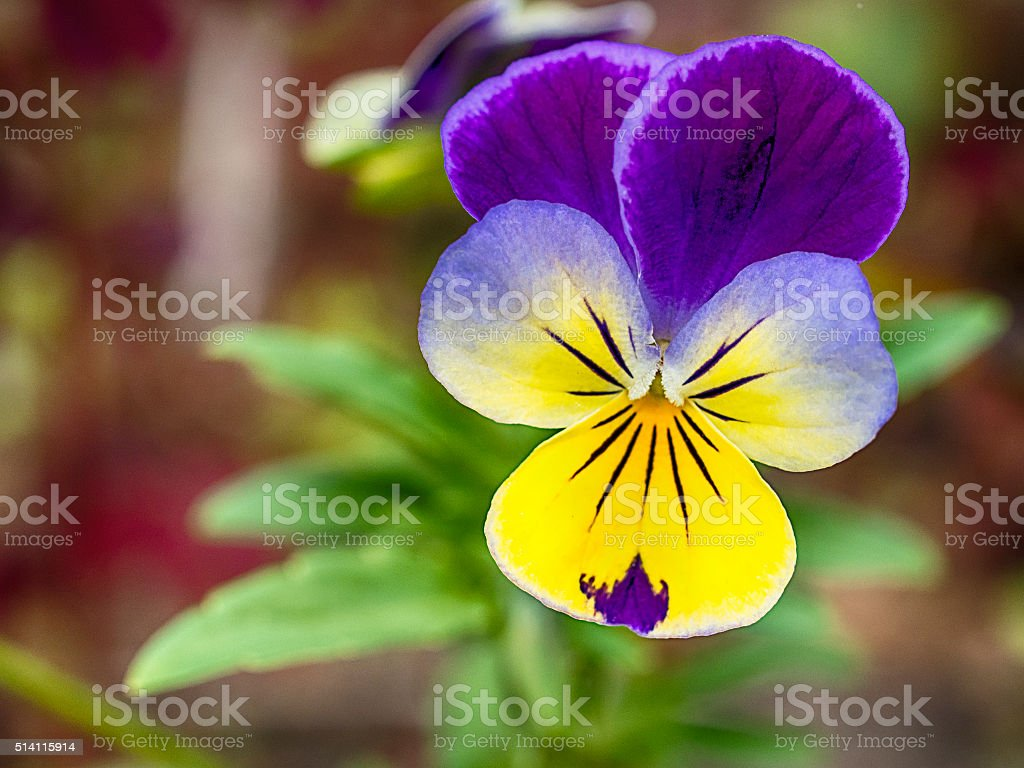 Purple yellow pansies with shallow depth of field. stock photo