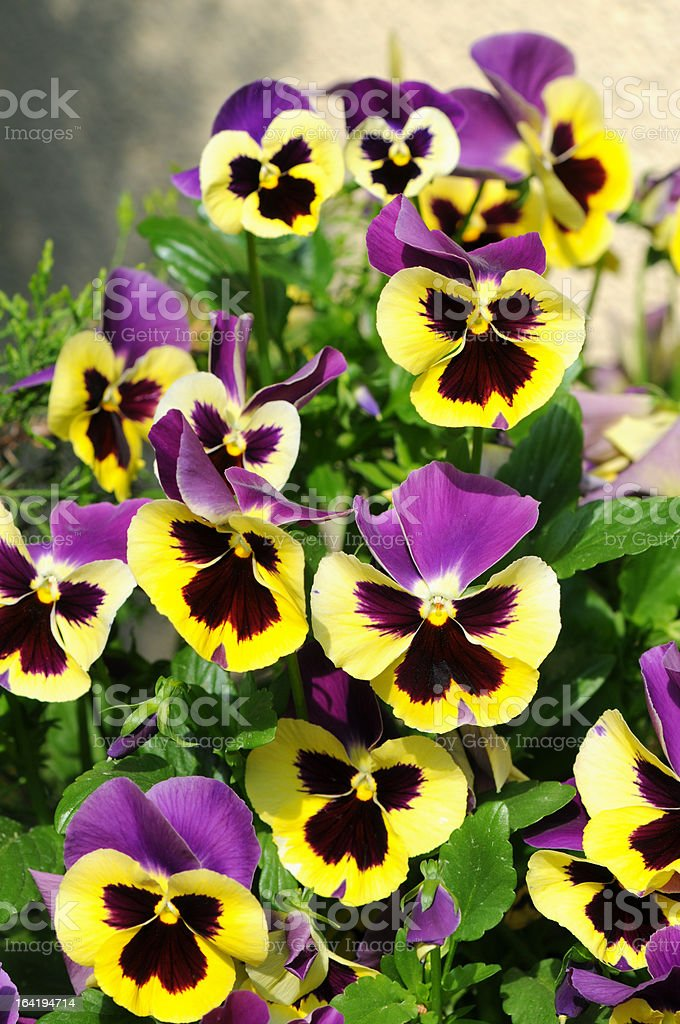purple yellow Pansy (Violet) stock photo