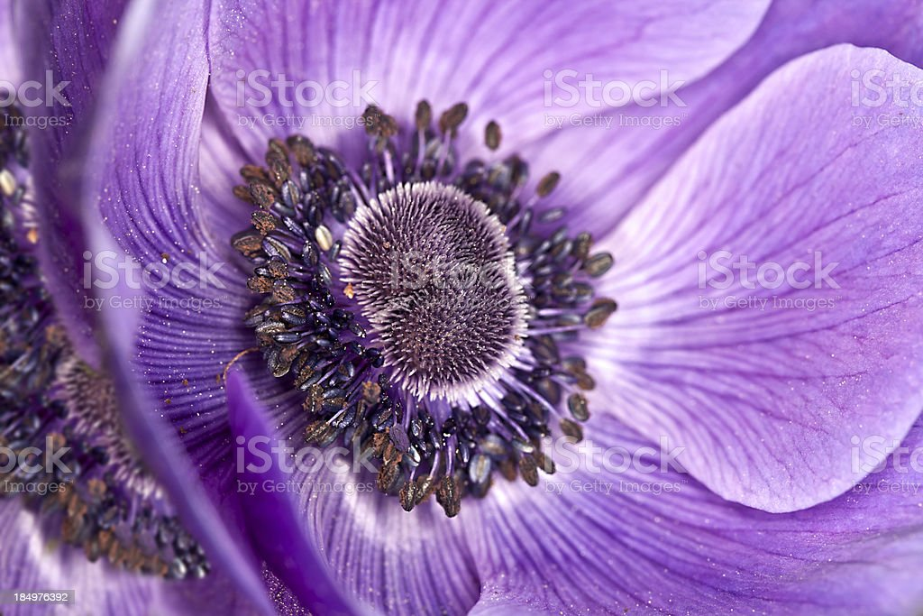 PurpleAnenome flower royalty-free stock photo