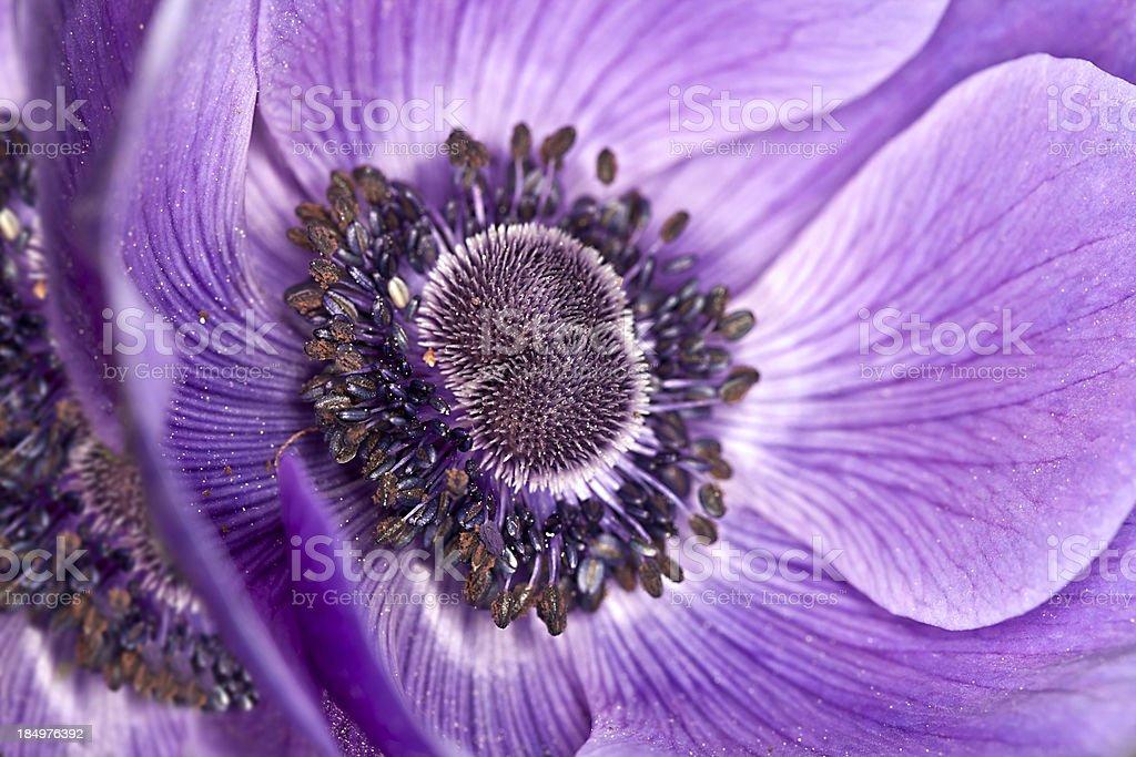 PurpleAnenome flower stock photo