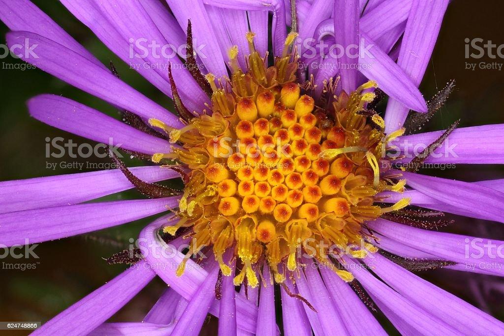 Purplestem Aster stock photo