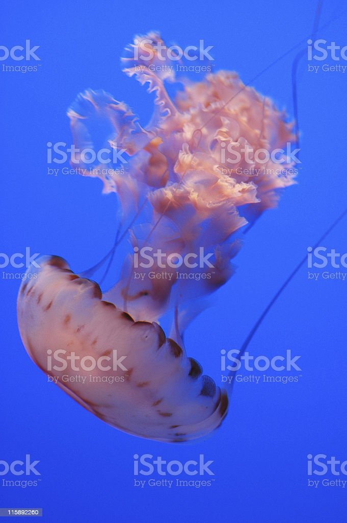 purple-striped jelly, Chrysaora colorata royalty-free stock photo