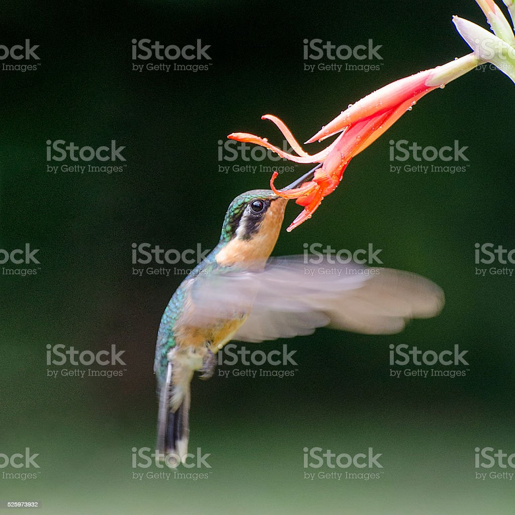 purple-throated mountain gem hummingbird, Lampornis calolaemus stock photo