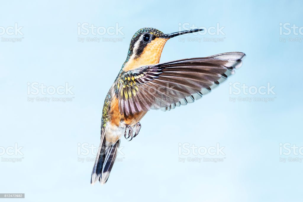 Purple-throated Mountain-gem Female with Wings Forward stock photo