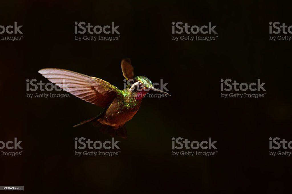 Purple-throated Mountain-Gem stock photo