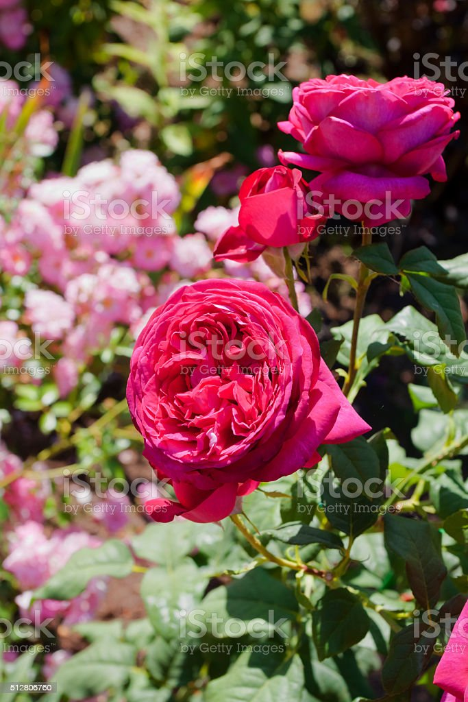 Purple-violet rose in garden. stock photo