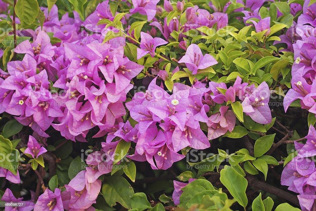 purpple bougainvillea Flower stock photo