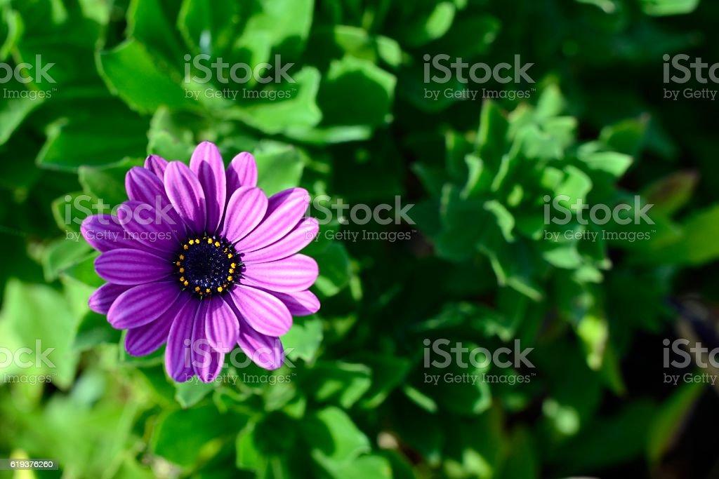 purpple daisy isolated stock photo