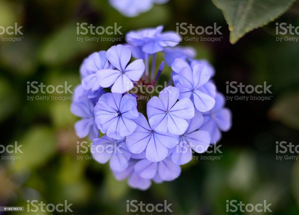 purpple flower isolated stock photo