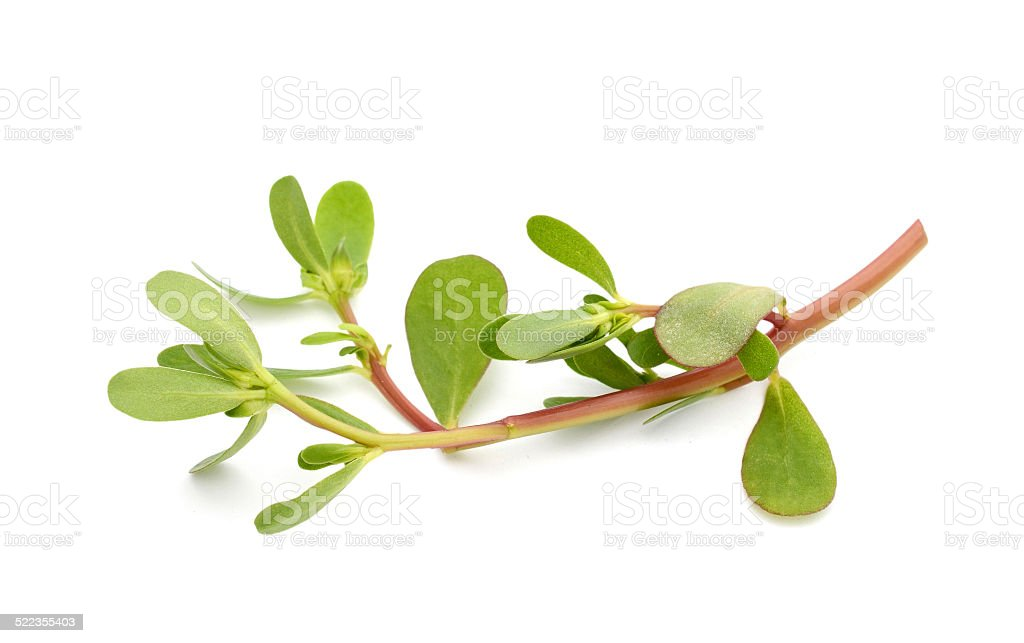 purslane (Portulaca oleracea) branch leaf stock photo