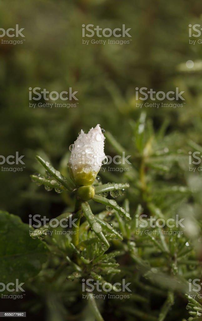 Purslane  flower stock photo