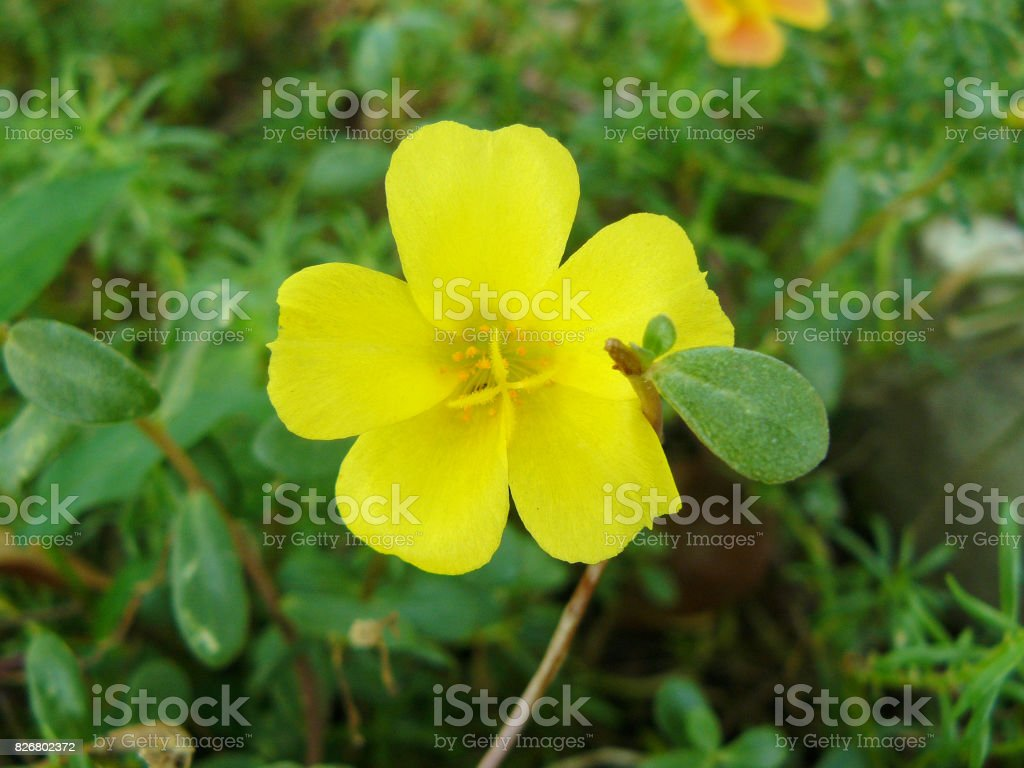Purslane flowers stock photo