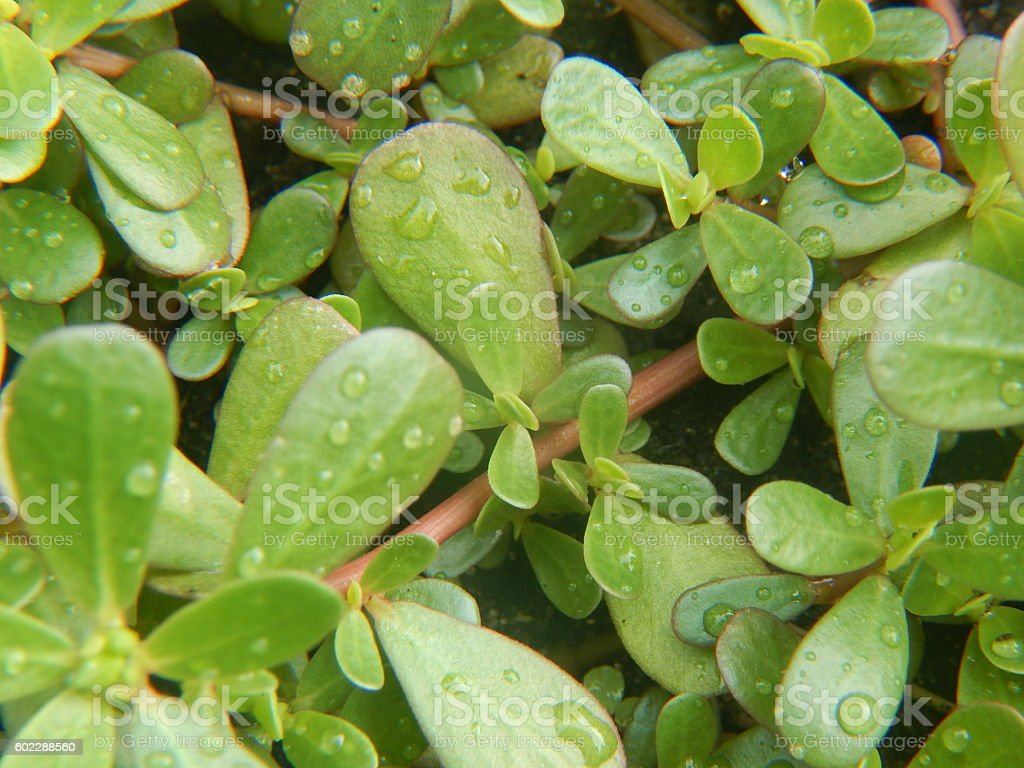 Purslane leaves after rain stock photo