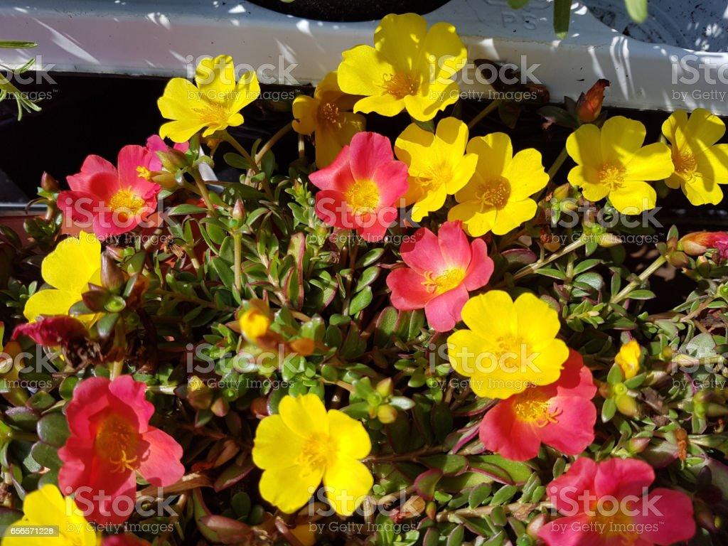 purslane; Portulaca, oleracea stock photo