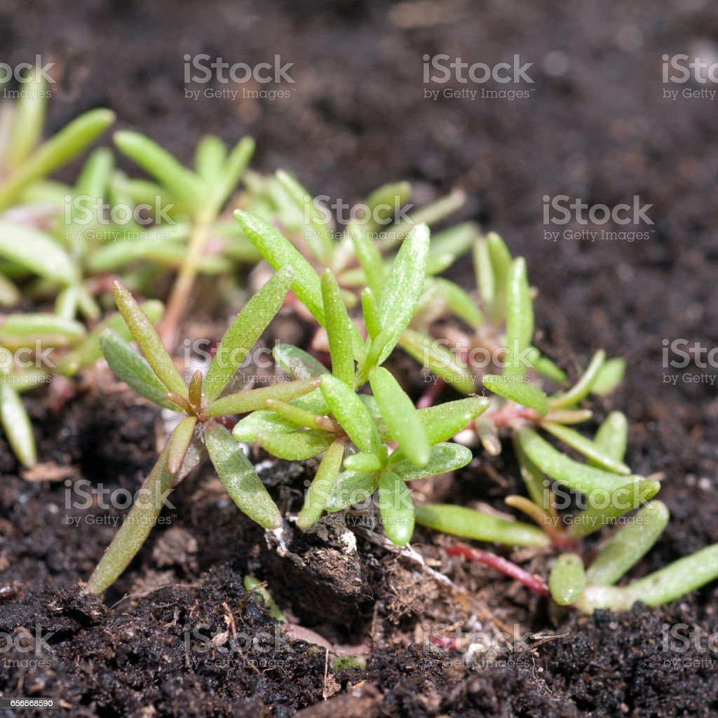 purslane; Portulaca; oleracea; Seedling; sprout stock photo