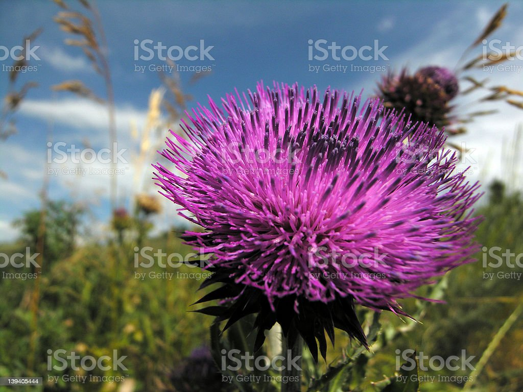 Purty Thistle royalty-free stock photo
