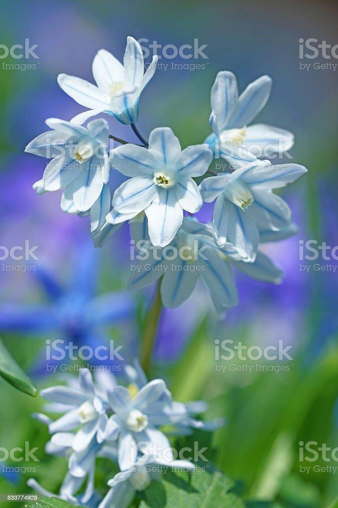 Puschkinia flower stock photo