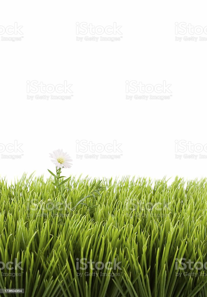 Pushing up daisy stock photo