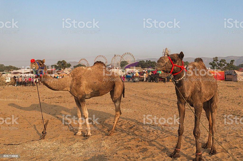 Pushkar Camel Fair, Rajasthan, India. stock photo