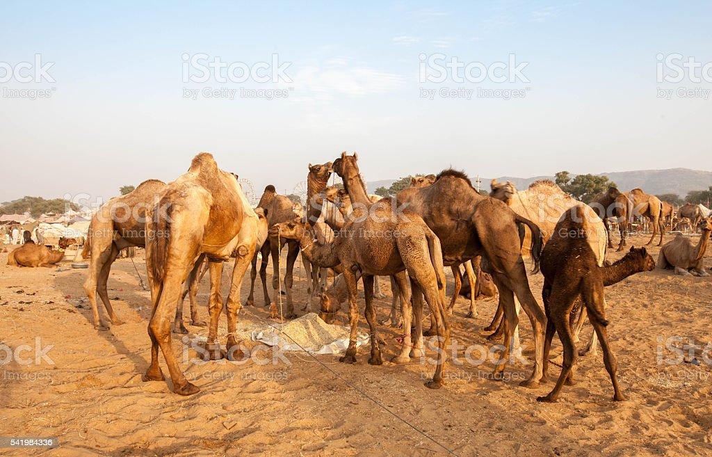 Pushkar Camel Fair - Rajasthan stock photo