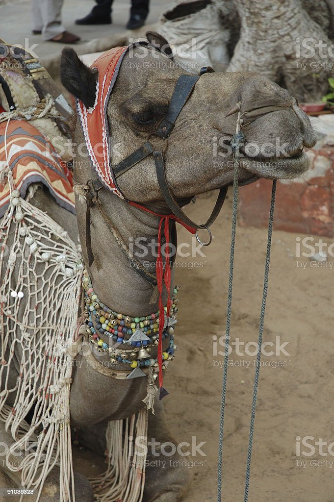 'pushkar camel' royalty-free stock photo