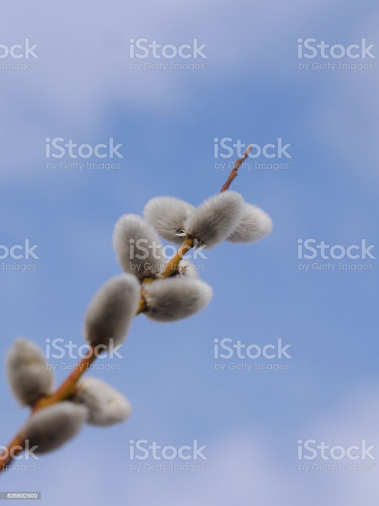 Pussy Willow Catkins stock photo