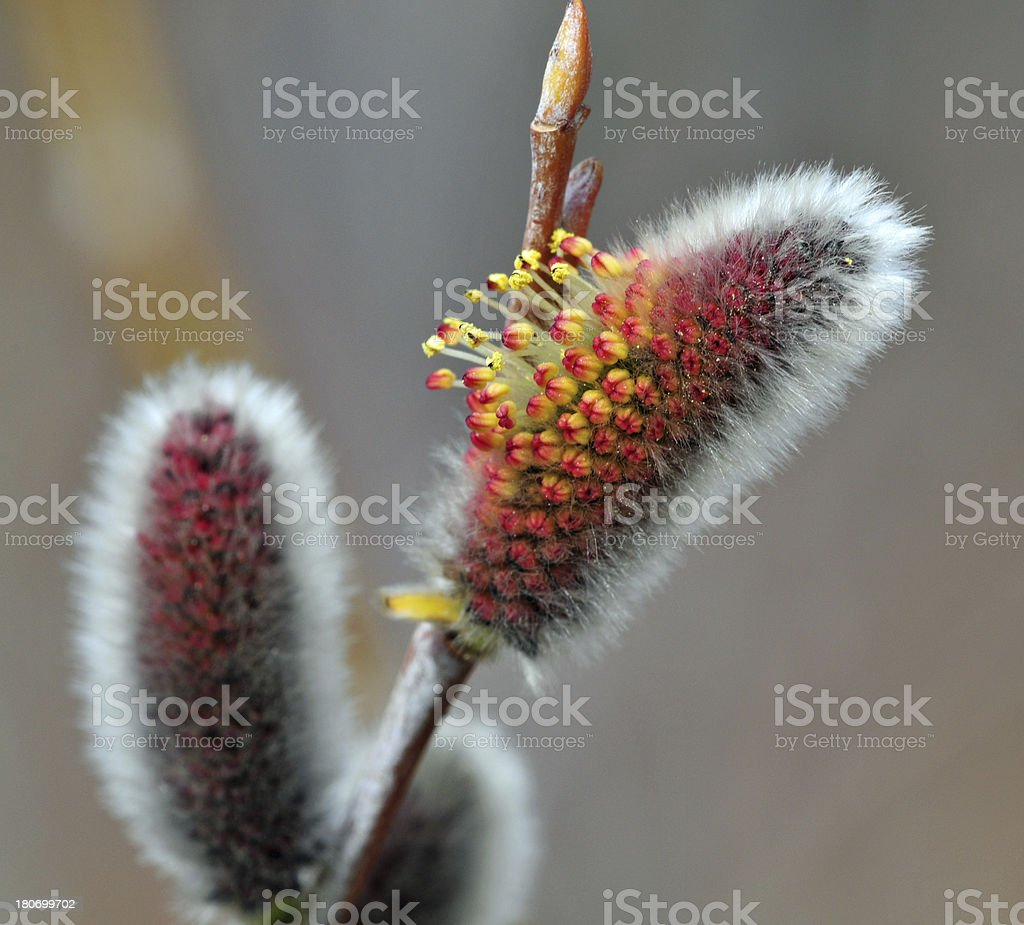 Pussywillow Blossoms stock photo