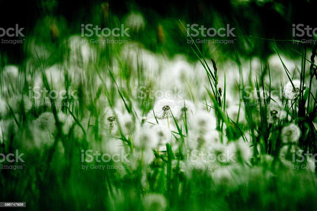 Pusteblumen Feld stock photo
