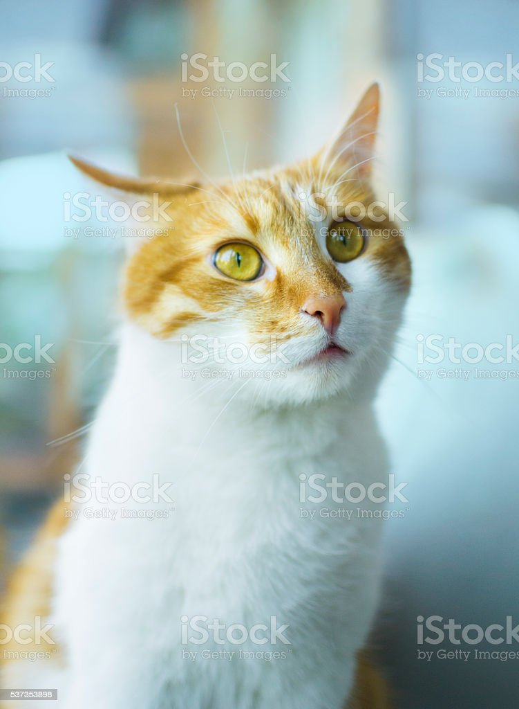 Puzzled ginger cat, cat face stock photo