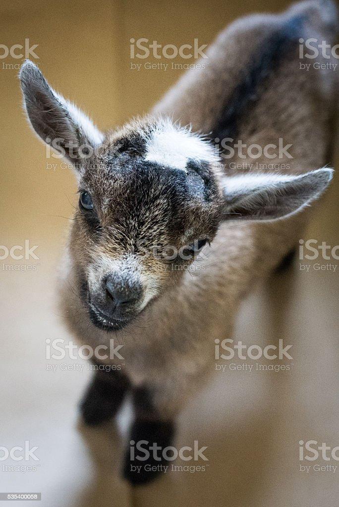 Pygmy Goat Gaze stock photo