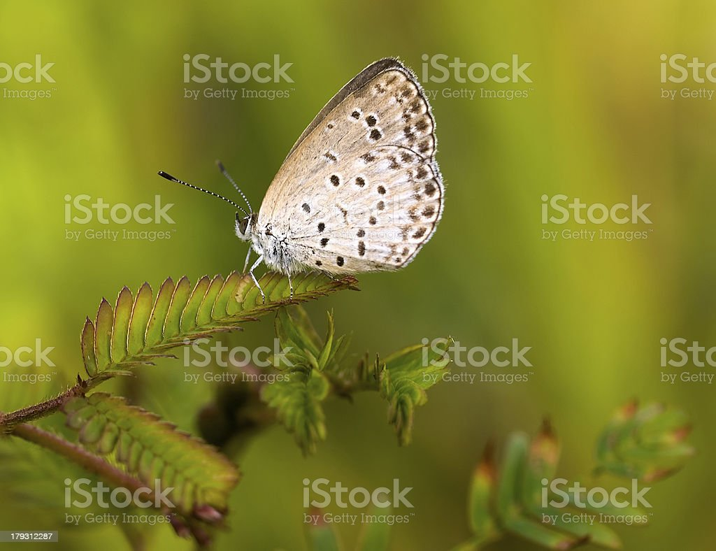 Pygmy Grass Blue stock photo