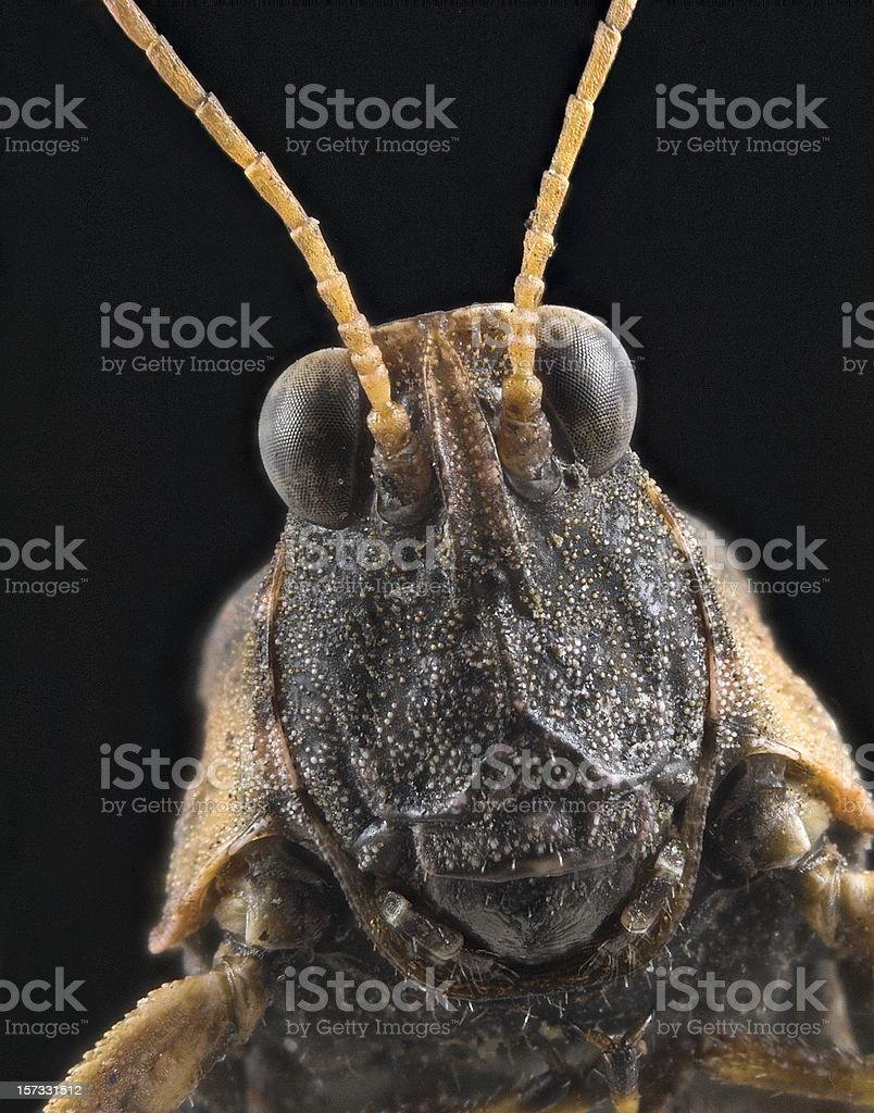 Pygmy Grasshopper macro royalty-free stock photo