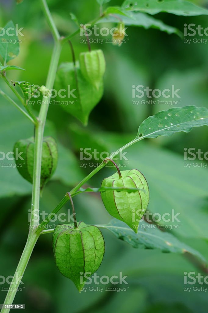 Pygmy groundcherry fruit. stock photo