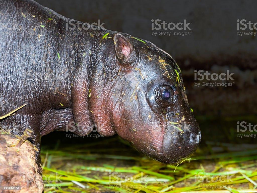 Pygmy hippo baby stock photo