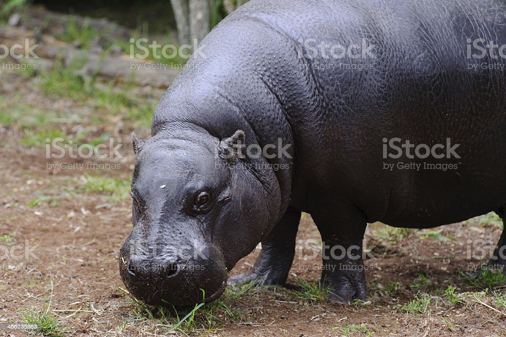 Pygmy hippo looks at camera stock photo