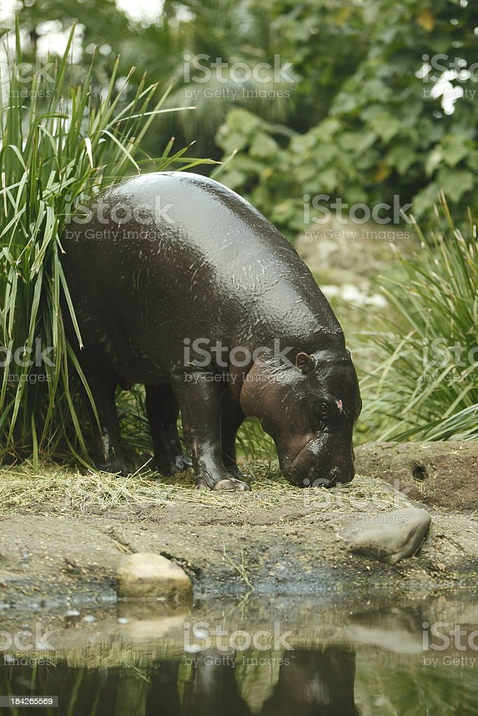 Pygmy Hippo stock photo