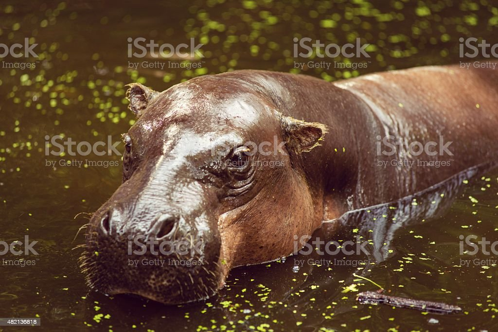 Pygmy hippopotamus, animals, mammals and herbivorous. stock photo