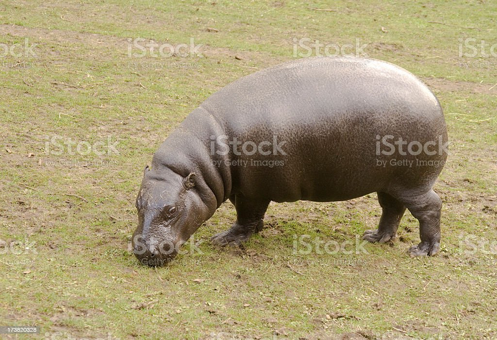 Pygmy Hippopotamus, Hexaprotodon or Choeropsis liberiensis, grazing stock photo