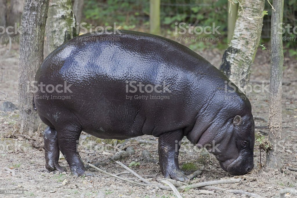 Pygmy hippopotamus in forest stock photo