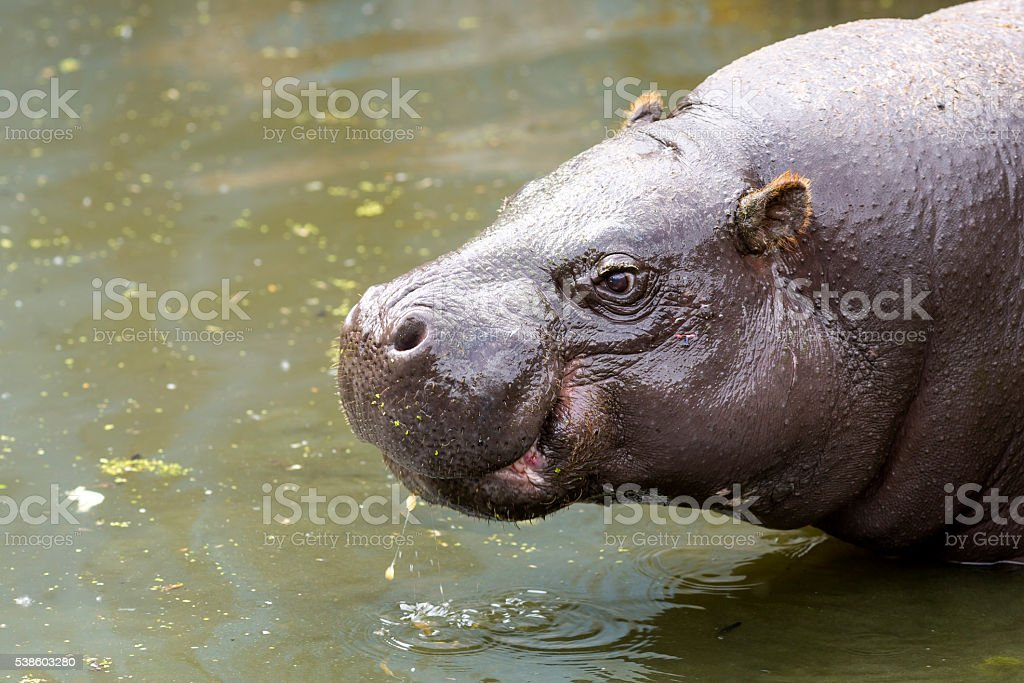 Pygmy hippopotamus in water stock photo