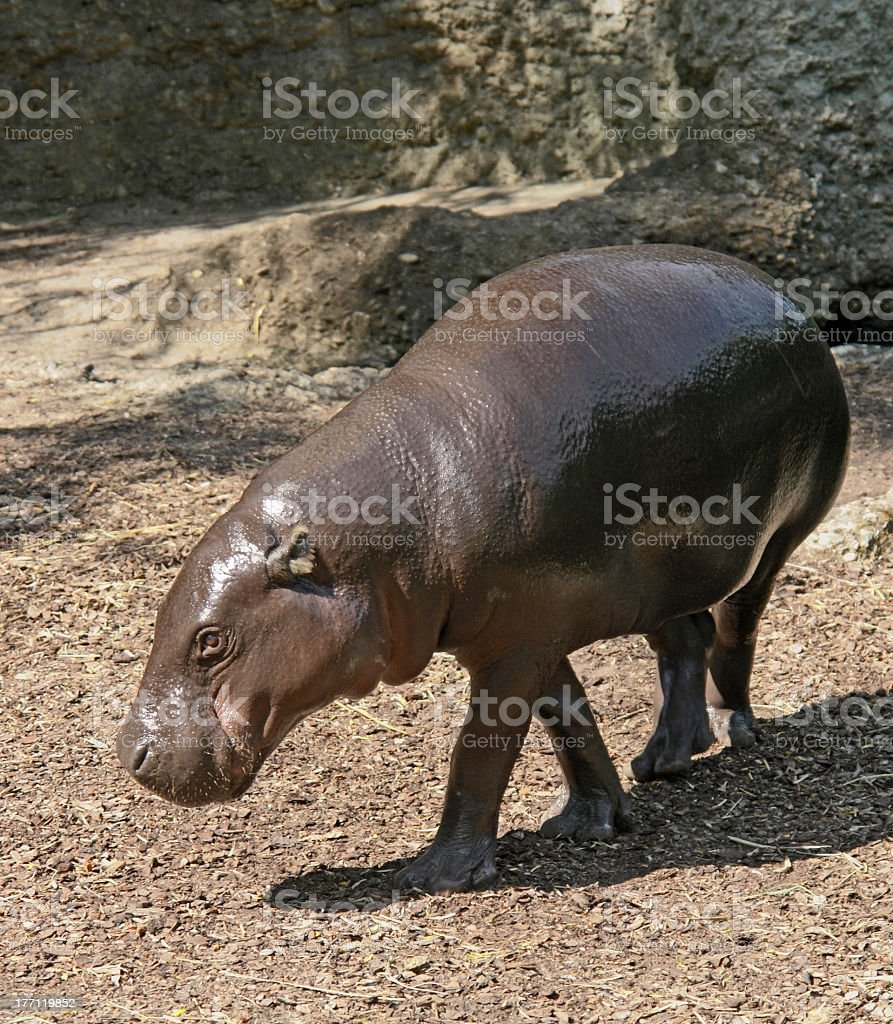 Pygmy Hippopotamus stock photo