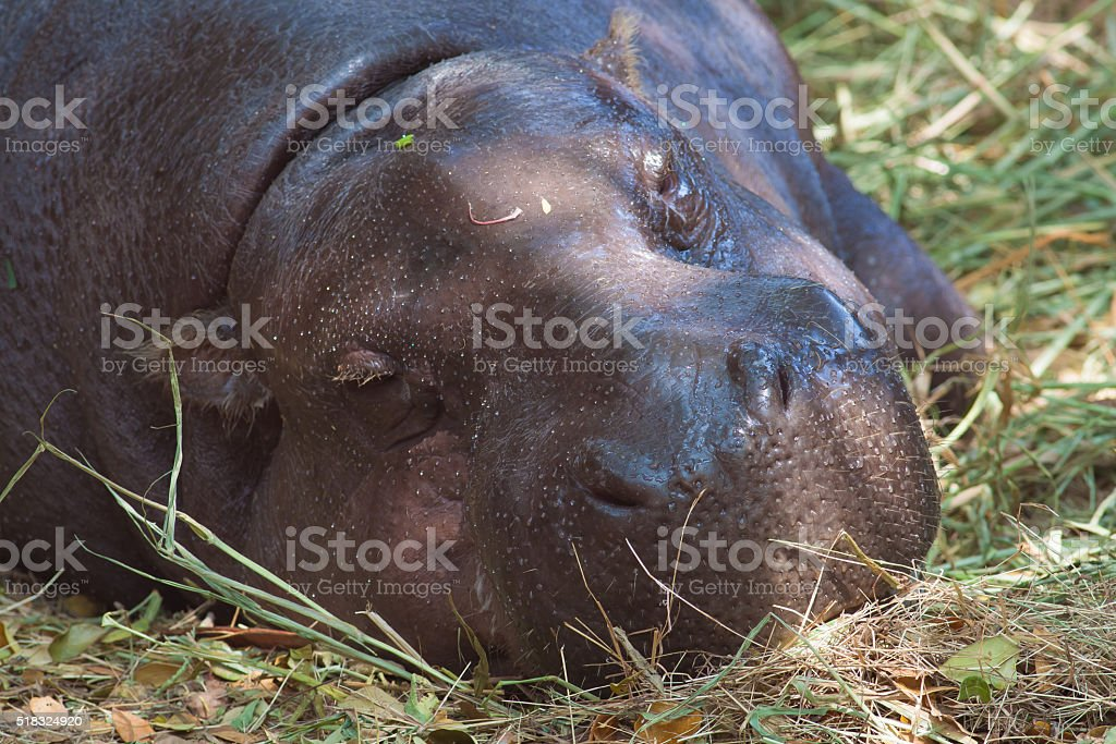 Pygmy hippopotamus sleeping royalty-free stock photo
