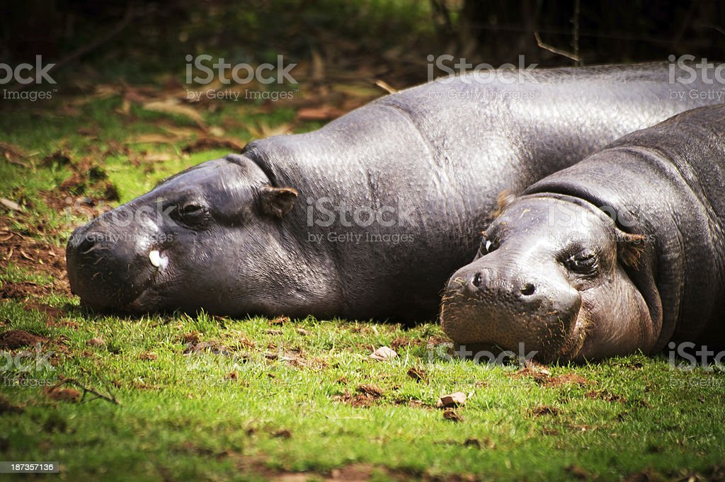 Pygmy Hippos stock photo