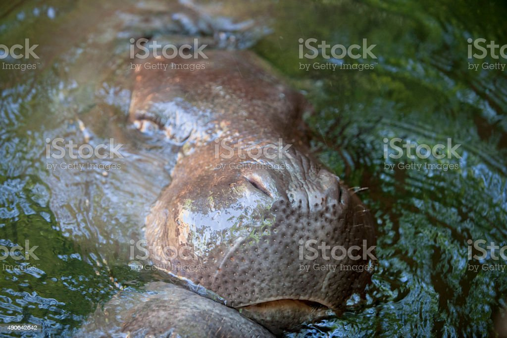 Pygmy hippos playing stock photo