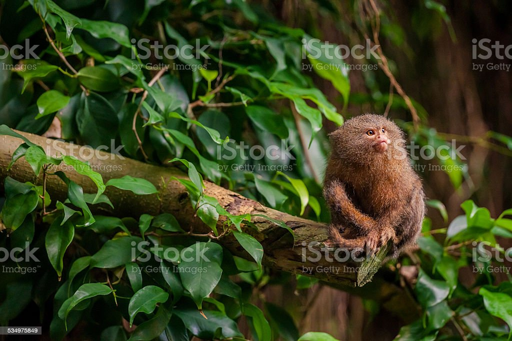 Pygmy Marmoset ape in the jungle stock photo